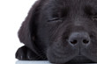 labrador retriever sleeping