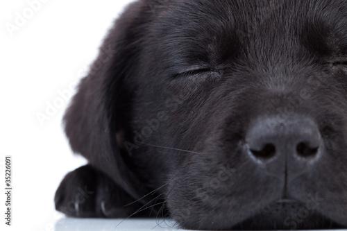 Fototapeta labrador retriever sleeping