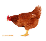 Hen isolated on white. - Fine Art prints