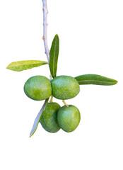 Olivenzweig freigestellt