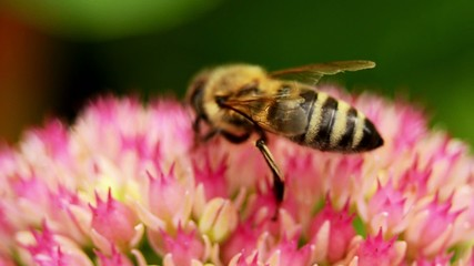 Honigbiene - NTSC