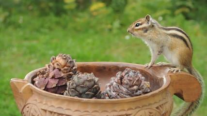 Бурундук (chipmunk) и кедровые шишки