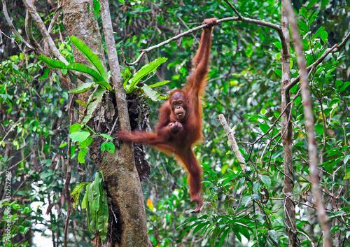 Foto op Canvas Aap orangutang in action