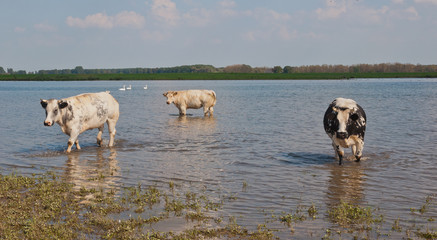 Cows wading in the water