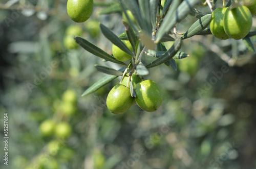 Staande foto Olijfboom olive