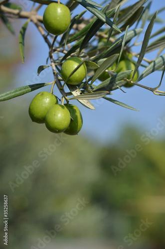 In de dag Olijfboom olive