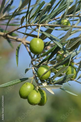 Aluminium Olijfboom olive