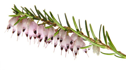 pink heather, isolated on white background