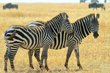 Two Zebras on the Masai Mara in Southwestern Kenya poster