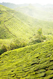 Tea Plantations at Cameron Highlands Malaysia. Morning time.