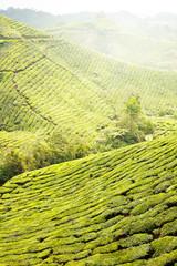 Tea Plantations at Cameron Highlands Malaysia. Morning time.