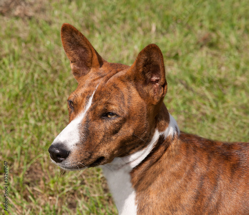 Head of a brindle Basenji
