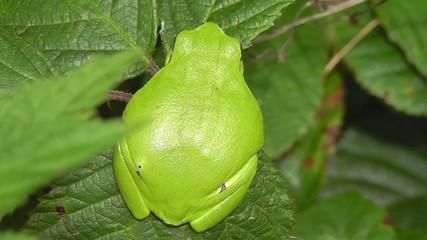 Laubfrosch - Hyla arborea - Rückansicht