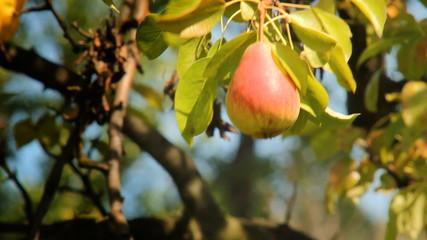 Gruszka dojrzewająca na drzewie