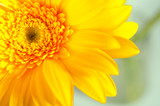 yellow gerbera closeup