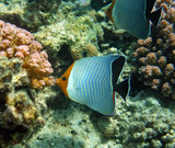 Hooded butterfly fish