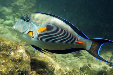 Arabian sohal surgeon fish