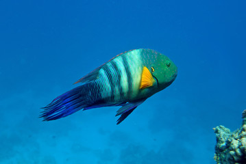 Broom-tail wrasse