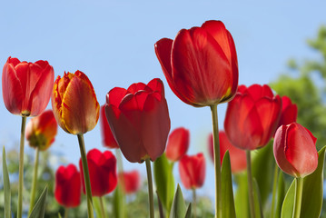Background with tulips