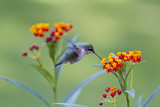 Small Hummingbird Feeding on a Milkweed.
