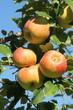 pommes sur pommier