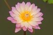 Close-up of Beautiful pink lotus