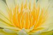 Close-up inside of Beautiful yellow lotus