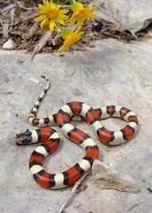 Colorful snake and wildflowers, Central Plains Milk Snake