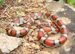 Red Milk Snake, Lampropeltis triangulum syspila