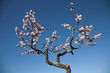 Almond tree blossom at spring over blue sky background