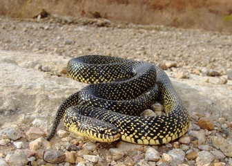Kingsnake on dirt road, Lampropeltis getula holbrooki
