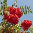 Vogelbeeren - Sorbus aucuparia
