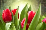 Fototapety tulips