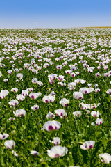 Field of white poppy