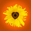 orange sunflower heart