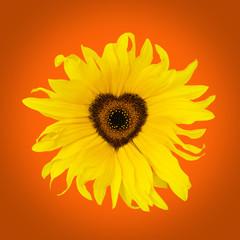 orange sunflower heart