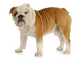 english bulldog standing