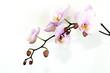 Fototapeten,orchidee,orchidee,blume,blume