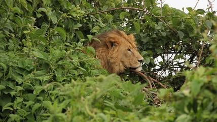 Lion head in canopy, Ngorongoro, Tanzania