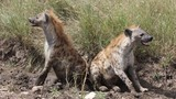 Pair of spotted hyenas, Serengeti, Tanzania