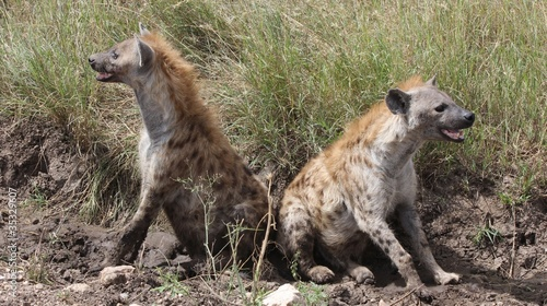 Pair of spotted hyenas, Serengeti, Tanzania