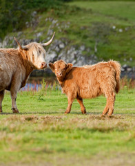 A highland cow and her calf