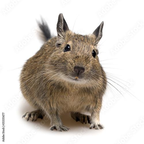 Papiers peints Squirrel degu pet