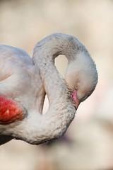 white flamingo