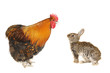 grey  rabbits and rooster