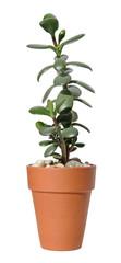 jade plant (Crassula ovata) in a terracota pot,  isolated on whi