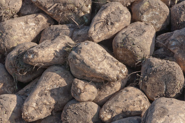 Closeup of a pile of sugar beets