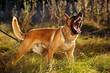 Barking Belgian Malinois