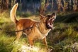 Malinois Barking