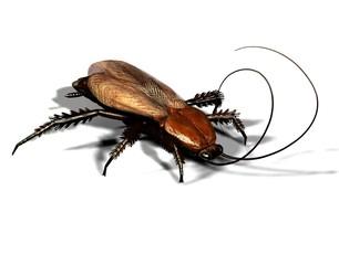 gemeine Kakerlake / Küchenschabe in Nahaufnahme